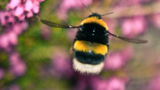 Image of a bee hovering over flowers