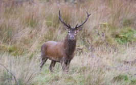 Image of wild stag in Donegal.